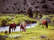 Horses grazing along the East Fork Ruby River, Beaverhead-Deerlodge National Forest, Montana.