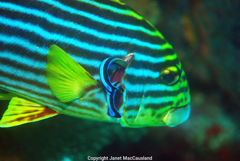 An Oriental Sweetlips (Plectorhinchus orientalis) is having it's gill cleaned by two Blue-streak Cleaner Wrasse (Labroides dimindiatus) on a reef in the Maldives.