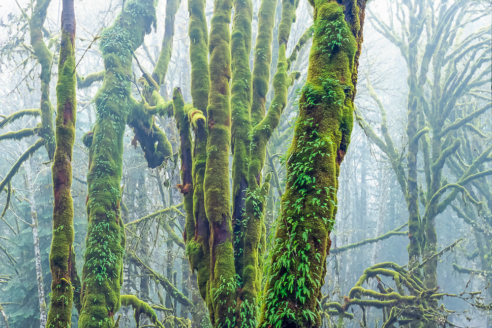 Bigleaf maple trees (Acer macrophyllum) with moss and licorice ferns, fog, winter, Elwha River Valley, Olympic National Park, Washington, USA