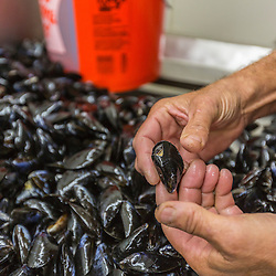 Owner Ralph Smith sorting mussels at Moosabec Mussels, Inc., in Jonesport, Maine.