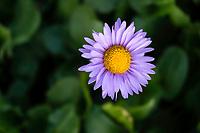A single purple wildflower in Albion Basin located in Little Cottonwood Canyon near Salt Lake City, Utah.