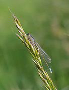 Teneral stage of Common Blue Damselfly, Enallagma cyathigerum, insect is soft and has not fully attained colouration, just hatched, inflating and drying wings