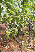 Vine with grape bunches. Zilavka local grape variety. Vita@I Vitaai Vitai Gangas Winery, Citluk, near Mostar. Federation Bosne i Hercegovine. Bosnia Herzegovina, Europe.