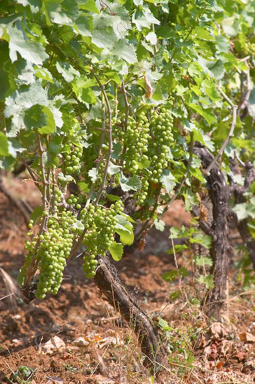 Vine with grape bunches. Zilavka local grape variety. Vita@I Vitaai Vitai Gangas Winery, Citluk, near Mostar. Federation Bosne i Hercegovine. Bosnia Herzegovina, Europe.