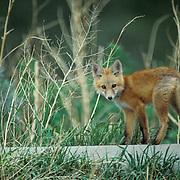 Red Fox, (Vulpus fulva) Young fox pup sitting on abandoned concreete culvert near den.