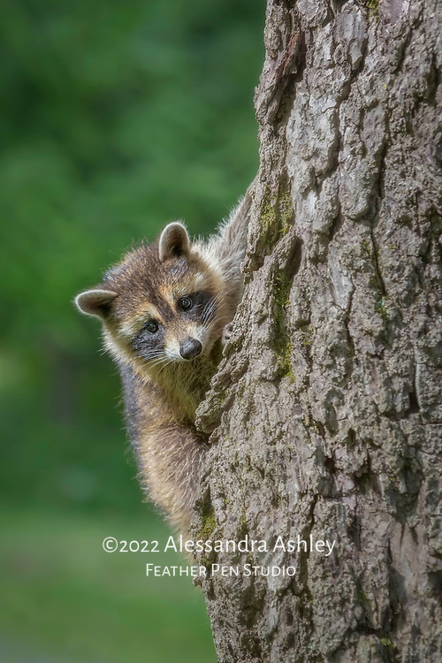 Raccoon (Procyon lotor) kit hanging from tree trunk and looking out with curiosity while climbing. Photographed on nature preserve at Ohio Bird Sanctuary.