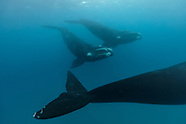 Eubalaena australis (Southern Right Whale)