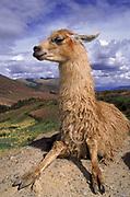 Llama<br />Lama glama<br />Andes of PERU    South America