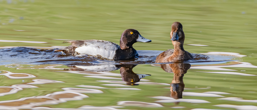 Male lesser scaup approaches female, Yellowstone National Park, © David A. Ponton