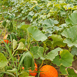 Pumpkins growing at the Crimson and Clover Farm in Northampton, Massachusetts.