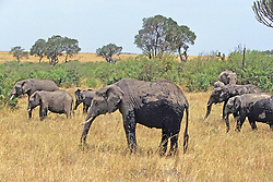 Elephants After Wallowing In The Mud