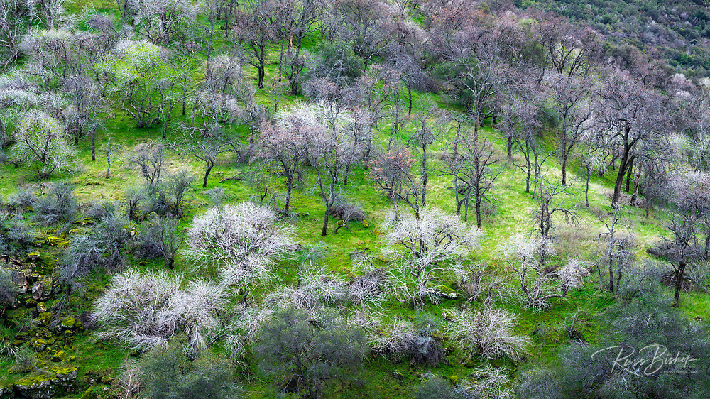 Bare oaks and grass on the Middle Fork of the Kaweah River, Sequoia National Park, California USA