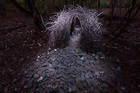 Bower of a Great Bowerbird (Chlamydera nuchalis) located far from civilization in the dry forest west of the village of Irvinebank.  Decorations are mostly stones with a few snail shells, green fruits, and pieces of green glass...Queensland, Australia...Photographed at night using light painting with a flashlight/torch.