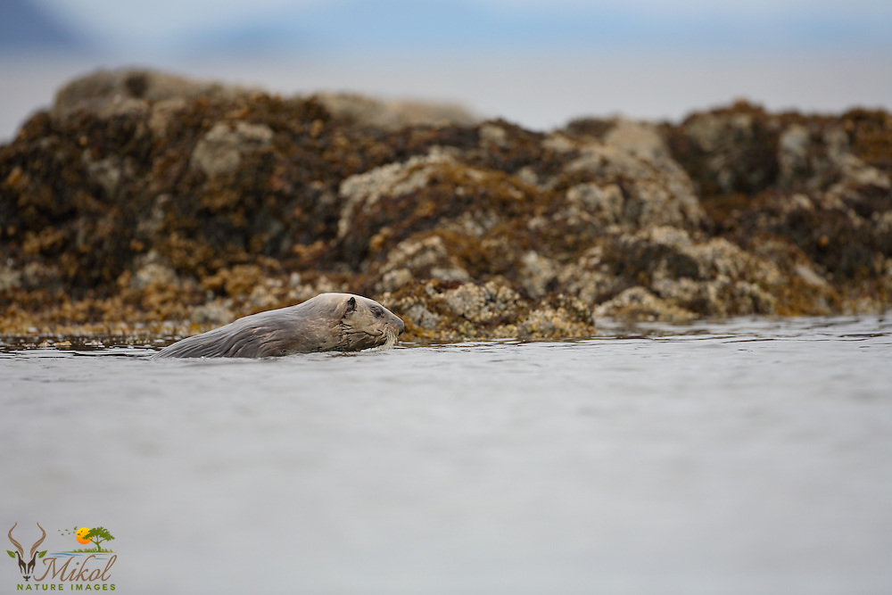 Sea otter with rocks and barnacles behind
