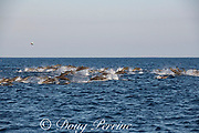 eastern spinner dolphins, Stenella longirostris orientalis, racing toward a bait school, offshore from southern Costa Rica, Central America ( Eastern Pacific Ocean )