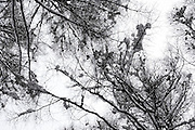 upwards view of tree branches covered with snow