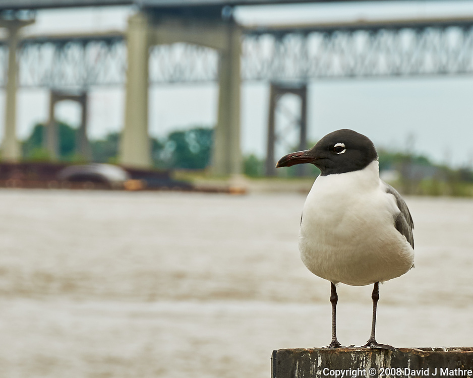 Laughing Gull. Missisippi River, New Orleans, Louisiana. Image taken with a Nikon D300 camera and 18-200 mm lens.