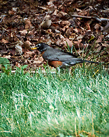 American Robin with a Cicada for lunch. Image taken with a Nikon 1 V3 camera and 70-300 mm VR lens.
