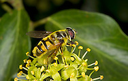 Death's Head or Dead Head Hoverfly - Myathropa florea - female
