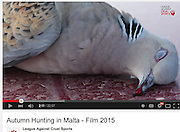 Turtle Dove shot during migration across Malta. Used in campaign video by League Against Cruel Sports.<br /> Client: Committee Against Bird Slaughter