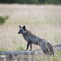 Red Fox (Vulpes vulpes) at Cattle Point on San Juan Island, Washington. Photo by William Drumm.
