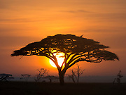 Acacia tree at sunrise.