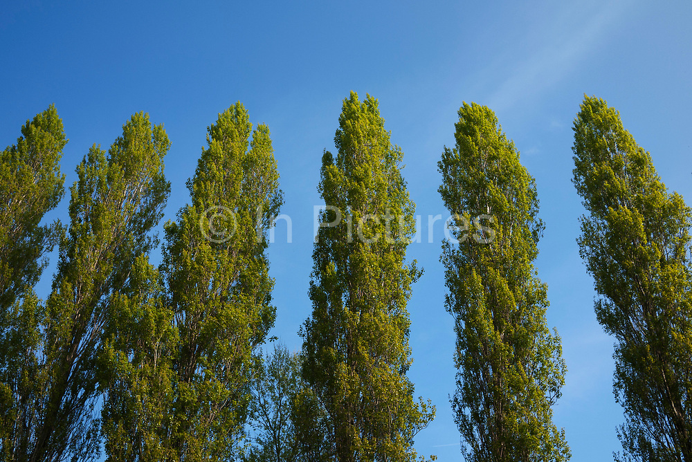 Poplar or Aspen are a beautiful and delicate tree which spreads by suckers off the root system, so creating entire groves of aspen. The latin name 'tremula' means to 'tremble' and refers to the way the leaves flutter and move in the slightest breeze, as they are seen here in Oxfordshire, UK.