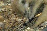 Die vier langen Krallen an jedem Vorderfuß ermöglichen dem Erdmännchen (Suricata suricatta), auch Scharrtier genannt, effektives Graben sowohl auf der Nahrungssuche als auch zum Anlegen und Instandhalten der ausgedehnten Gangsysteme der Gruppe. |  Suricate or Slender-tailed Meerkat (Suricata suricatta)