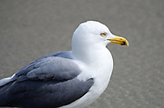 Seagull in profile with sandy beach background.