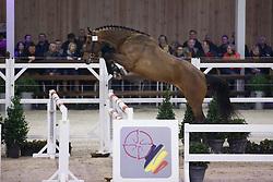 037 - Mugano Van Klapscheut<br /> Hengstenkeuring BWP - Azelhof - Koningshooikt 2015<br /> ©  Dirk Caremans