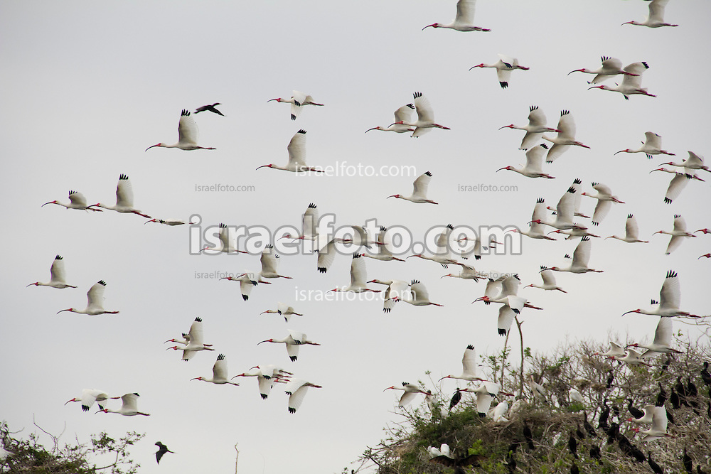 Ibis flying at Chacahua