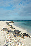 green sea turtles, Chelonia mydas ( Threatened Species ) basking on beach at the primary breeding area for this species in the Hawaiian archipelago, East Island, French Frigate Shoals, Papahanaumokuakea Marine National Monument, Northwest Hawaiian Islands, Hawaii, USA ( Central Pacific Ocean )