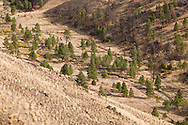 A sparse Ponderosa Pine forest dots the valley floor of Tumalum Creek, a tributary of the Tucannon River in the Blue Mountains, Garfield, County, WA, USA.  Goat Mountain is on the right.