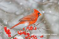 01530-23305 Northern Cardinal (Cardinalis cardinalis )male in Winterberry bush (Ilex verticillata) in winter Marion Co. IL