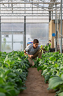 Farm workers pick the crop of bok choy early in the morning, at The Sahara Forest Project on the outskirts of Aqaba, on Jordan's southern Red Sea coastline. The farm uses desalinated sea water and greenhouses to sustainably farm crops in land that was once aris desert.