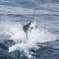 Blue Marlin jumping away from the boat offshore Luanda, Angola