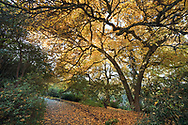 Fall leaves below a Star Magnolia (Magnolia stellata) along a path at Queen Elizabeth Park in Vancouver, British Columbia, Canada.