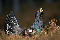 Capercaillie (Tetrao urogallus) male displaying, Cairngorms National Park, Scotland.