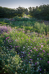 Early morning at Green and Gorgeous. Looking over the stock beds with Centaurea moschata - Sultan flower, Sweet sultan - and nigella in the foreground.
