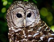 Theodore Roosevelt Sanctuary Barred Owl