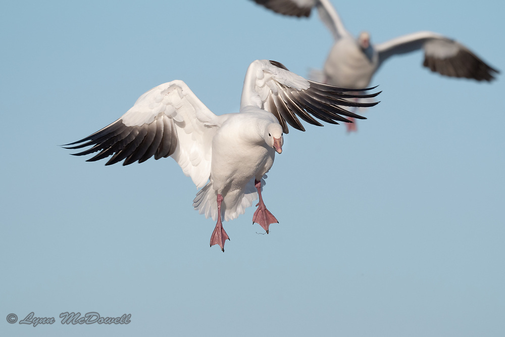 Blue sky and beautiful Snow Geese in action