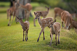 © Licensed to London News Pictures. 24/06/2020. London, UK. Young deer play at first light in Bushy Park, south west London. High temperatures and sunshine are expected in most of the UK over the next few days. Photo credit: Peter Macdiarmid/LNP
