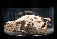 Here is one from the archives. A photo of a A preserved Pacific Football fish on display at the Cabrillo Marine Aquarium in San Pedro, CA.