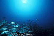 spawning aggregation of dog snappers, Lutjanus jocu, Belize Barrier Reef, Belize, Central America ( Caribbean Sea )