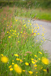 Buttercups and sorrel on lane verge. Ranunculus acris