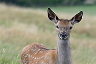 Red Deer - Cervus elaphus - juvenile