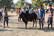 In Palamadu a bull stands with its owners having completed the Jallikattu.