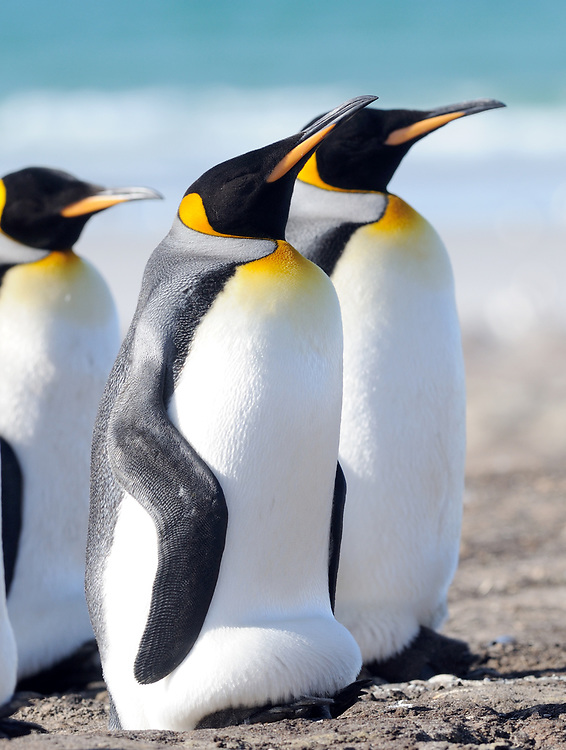 King penguins (Aptenodytes patagonicus). One has its brood pouch extended to protect a chick. Saunders Island, Falkland Islands. 15Feb16