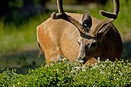 Male buck Mule Deer Odocoileus hemionus foraging for food, Dorst Creek, Sequoia National Park, California