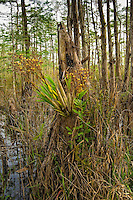 Cigar orchids are most often found growing on old cypress stumps or knees.